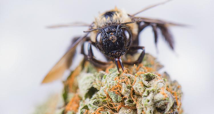 Bienensterben. Können Hanfbauern helfen?
