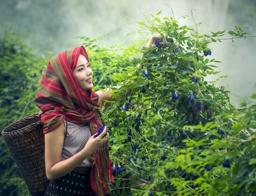 6 Tipps für ultimativen Erfolg beim Hanf Ernten