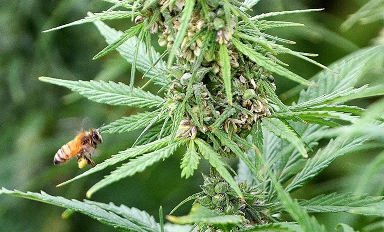 Wie kann Hanf helfen, die Bienen zu retten?