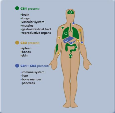 CB1- und CB2-Rezeptoren